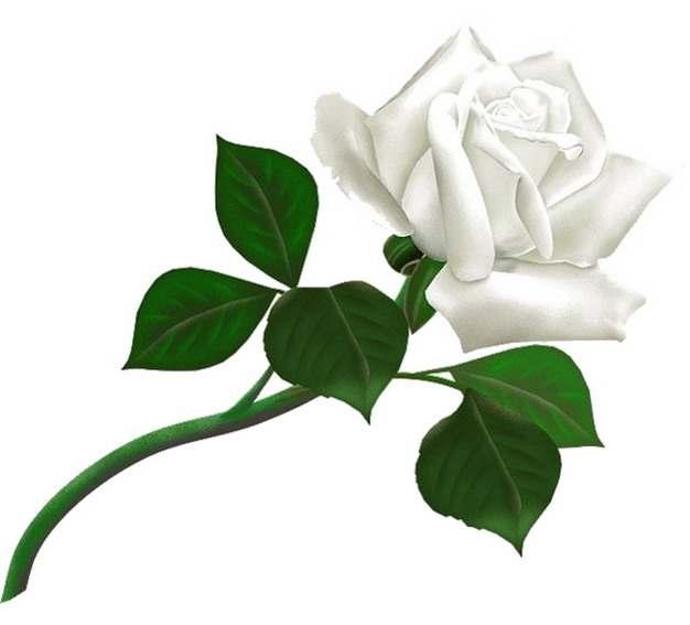 逼真的彩绘白玫瑰花鲜花917583png图片素材