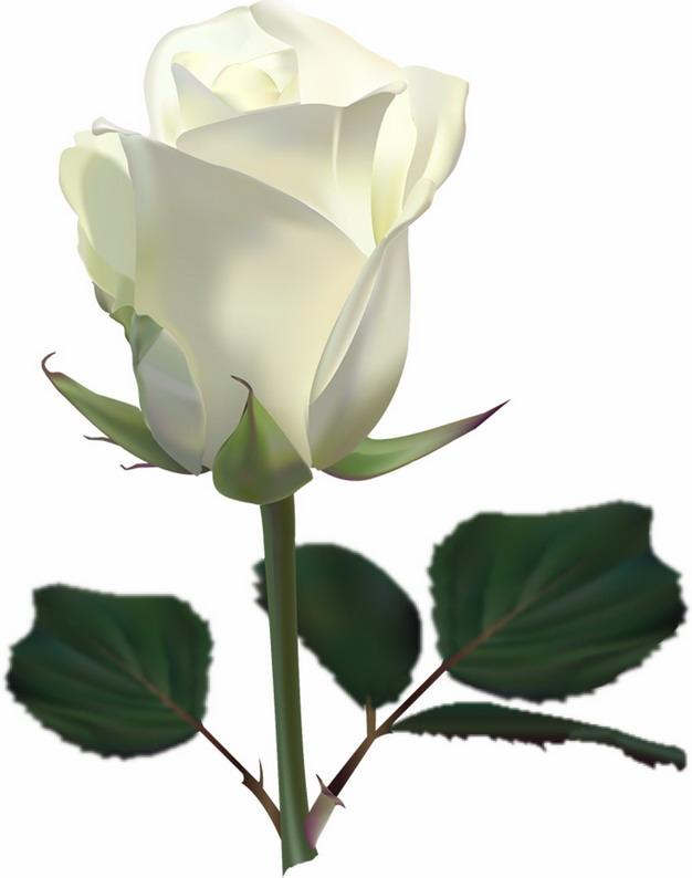 枝头上的白玫瑰花鲜花带叶子769378png图片素材 生物自然-第1张
