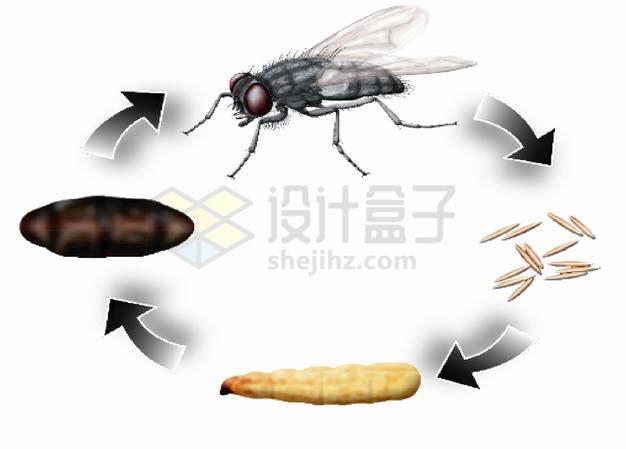 苍蝇卵孵化成苍蝇循环图png图片素材