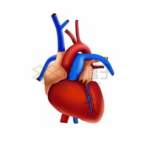 3D立体人体心脏大动脉静脉373291png免抠图片素材