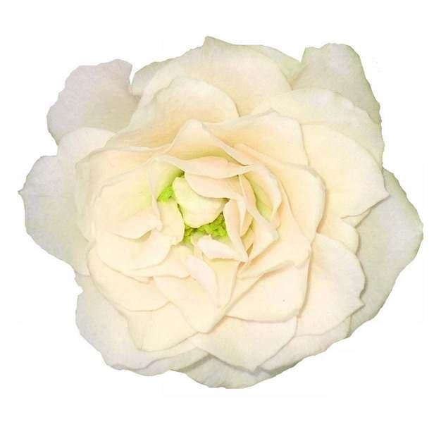 一朵盛开的白玫瑰花鲜花465108png图片素材