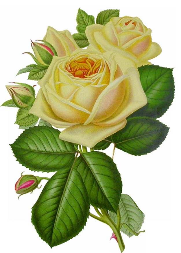 彩色插画风格带绿叶的黄玫瑰鲜花417903png图片素材