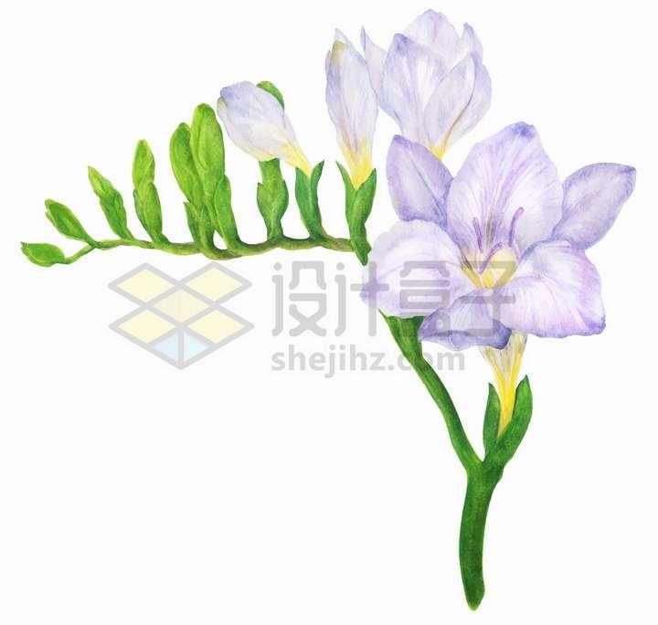 淡紫色花朵小苍兰水彩插画png图片免抠矢量素材