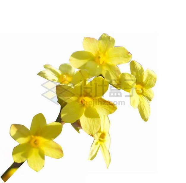 盛开的黄色迎春花png免抠图片素材