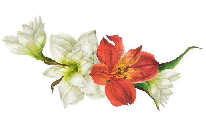 漂亮的白色和红色百合花鲜花插画png图片免抠矢量素材