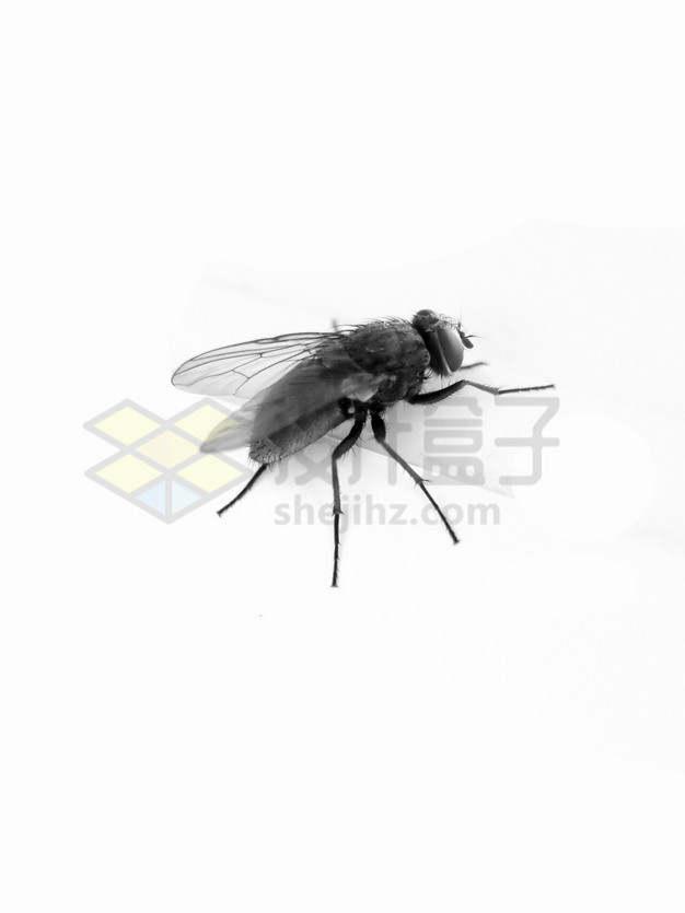 逼真的黑白色苍蝇png图片素材
