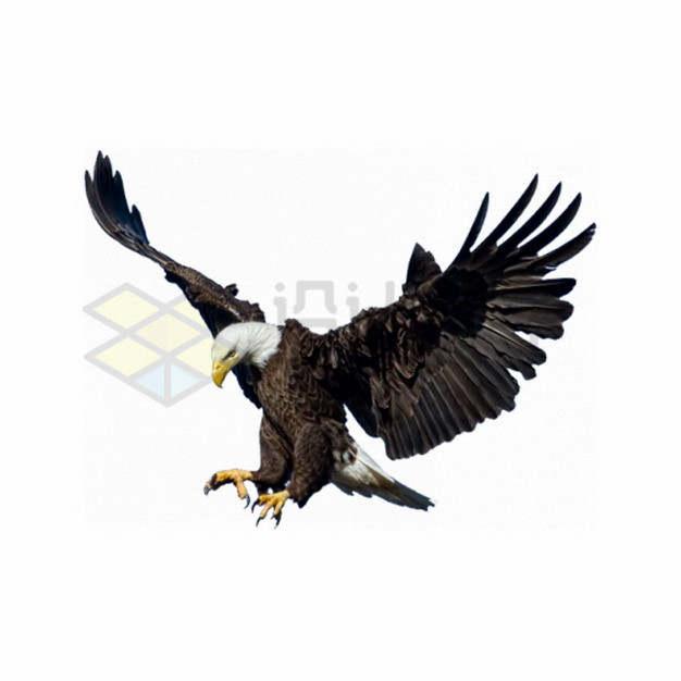 准备抓取猎物的白头海雕雄鹰展翅png图片素材
