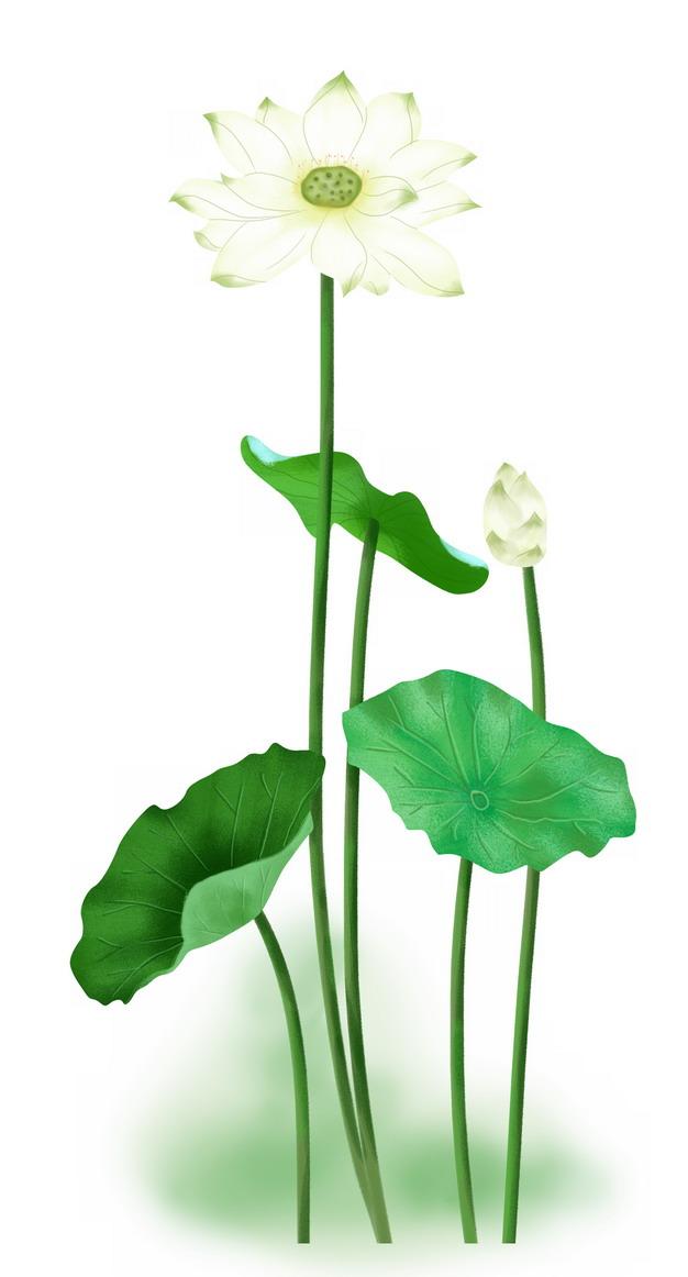 白绿色的荷花和荷叶莲蓬316225png图片素材 生物自然-第1张