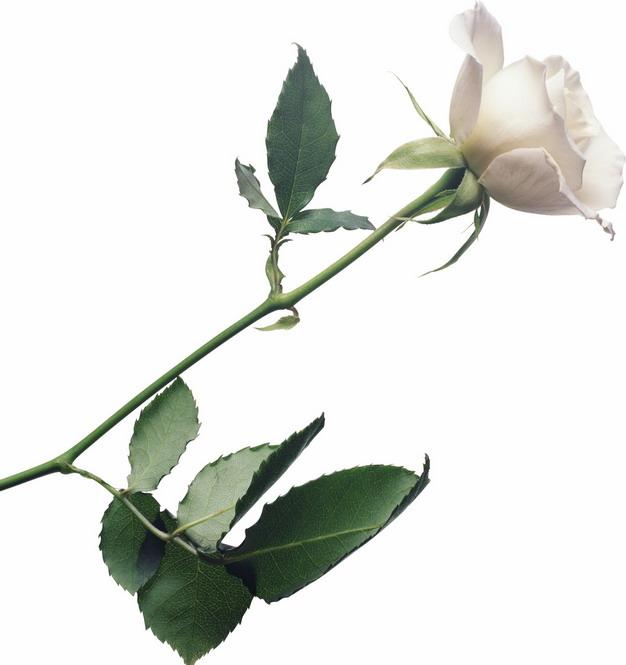 枝头上的白玫瑰花鲜花217544png图片素材 生物自然-第1张