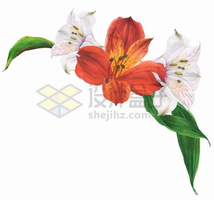 盛开的白色和红色百合花朵png图片免抠矢量素材
