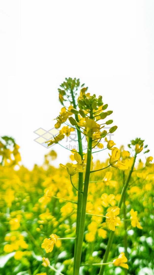 春天里的油菜花349012png免抠图片素材