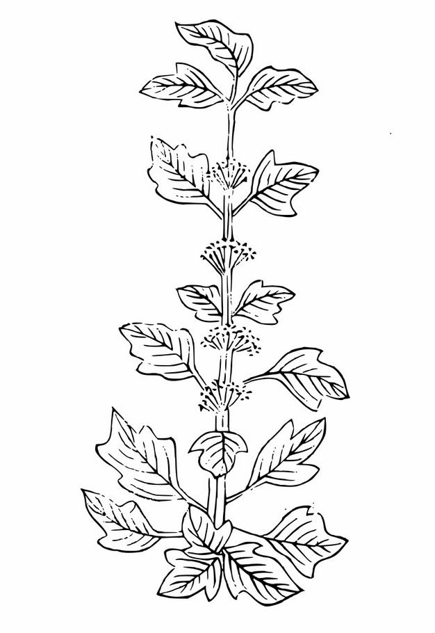 线条手绘风格益母草3150044png图片素材 生物自然-第1张
