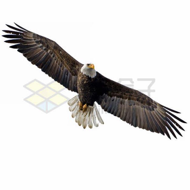 翱翔中的白头鹰雄鹰展翅png图片素材