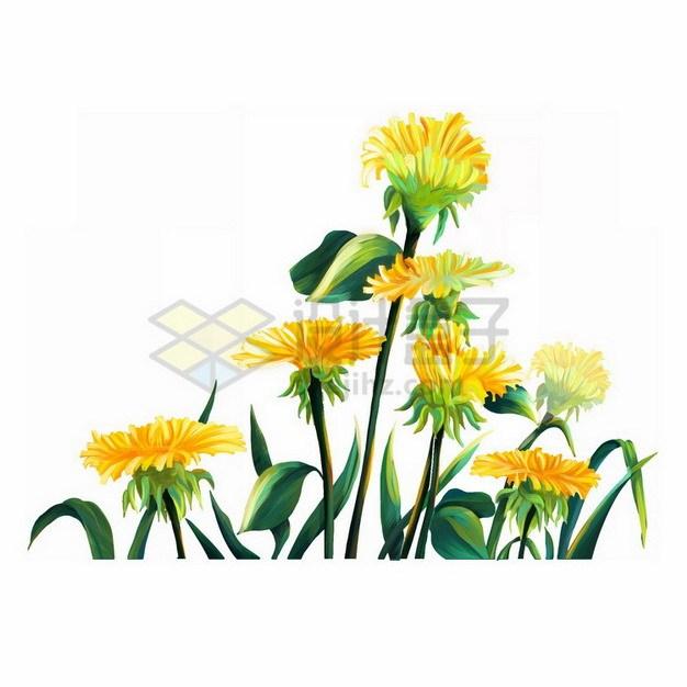 盛开的蒲公英花朵2874391png免抠图片素材 生物自然-第1张