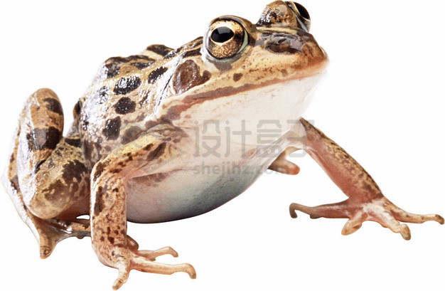 可爱的大眼睛青蛙黑斑蛙png图片素材