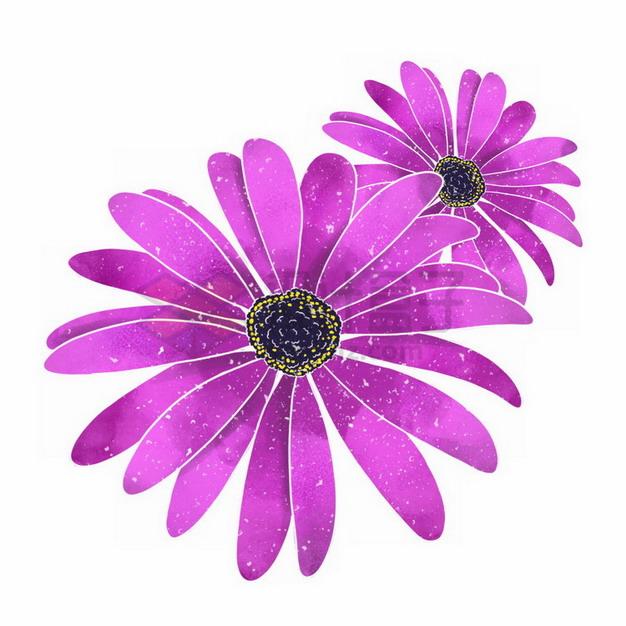 盛开的荷兰菊紫色鲜花png免抠图片素材 生物自然-第1张