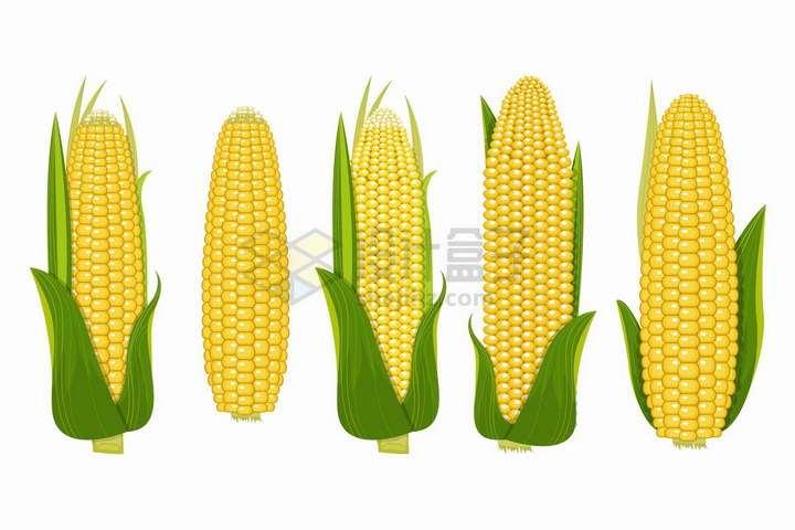 5款新鲜的玉米还带着绿色苞叶png图片免抠矢量素材