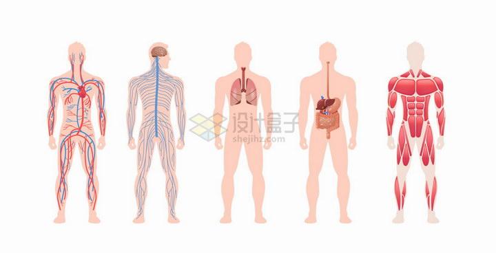 血液循环系统神经系统呼吸系统消化系统和肌肉组织人体解剖图png图片免抠eps矢量素材 健康医疗-第1张