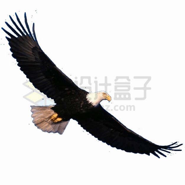 飞行中的黑白色白头海雕雄鹰展翅png图片素材