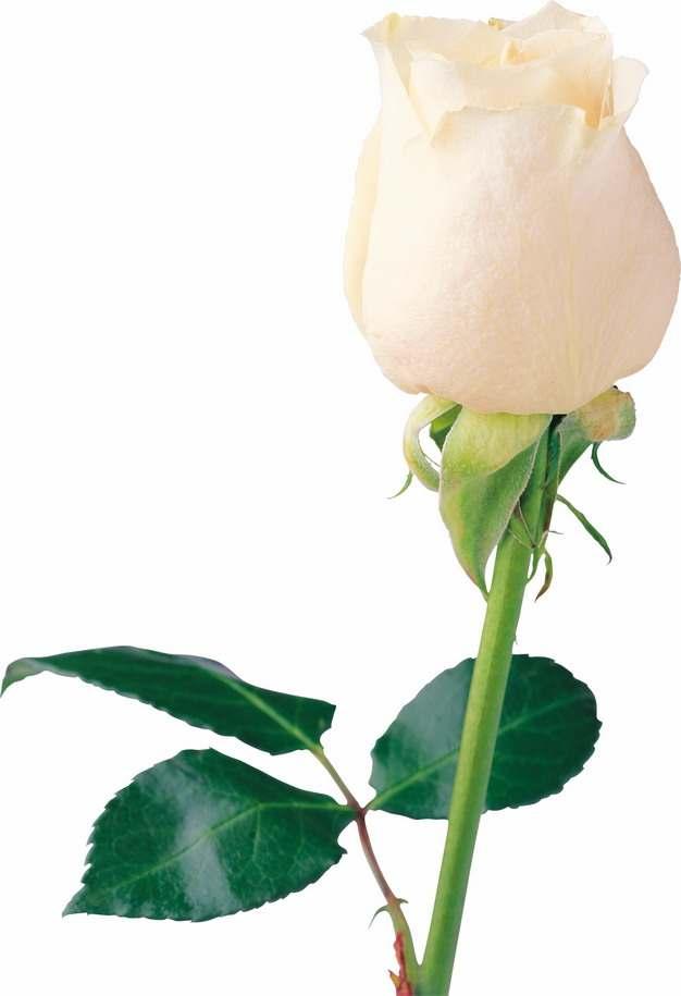 一朵含苞待放的黄玫瑰鲜花858298png图片素材