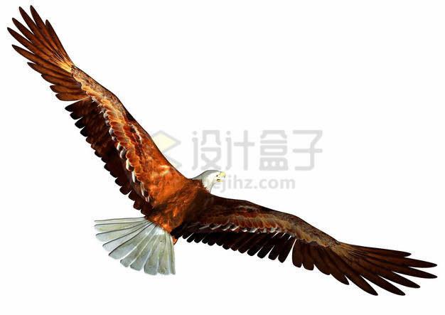 阳光下的白头海雕雄鹰展翅png图片素材