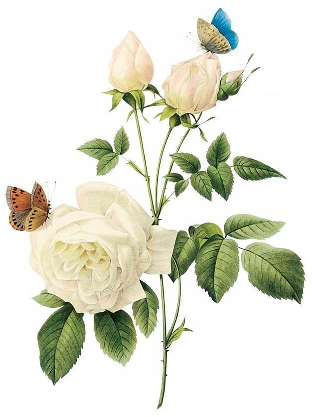 枝头上的白玫瑰花鲜花和蝴蝶432978png图片素材