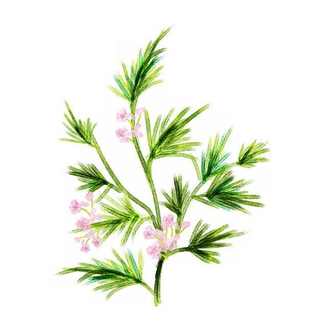 彩绘风格开花的益母草2971299png图片素材