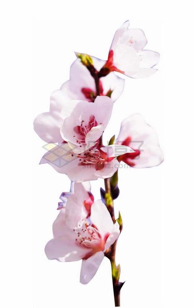 枝头上高清粉色桃花653218png免抠图片素材