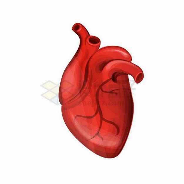红色的人体器官组织心脏世界心脏日png图片免抠矢量素材