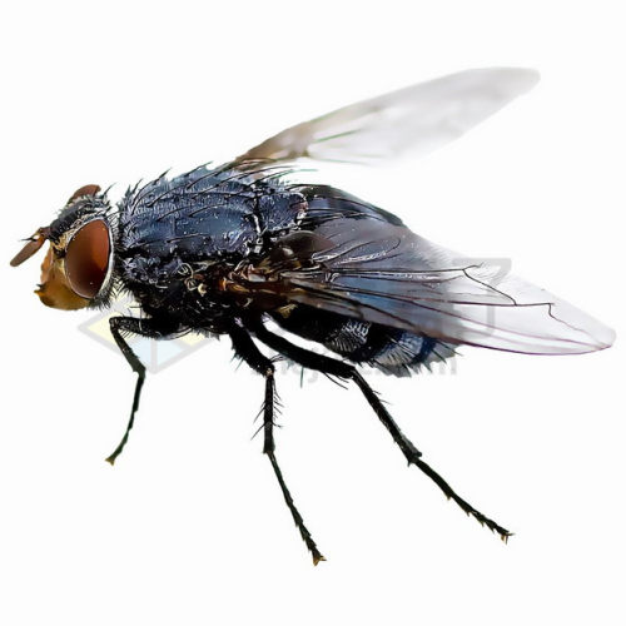 高清苍蝇png图片素材