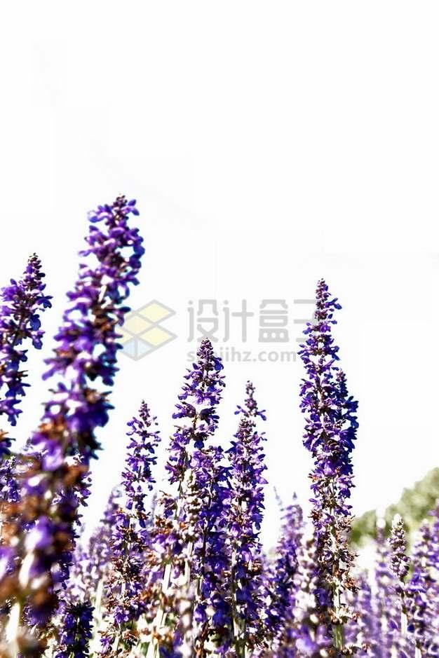 紫色的薰衣草874319png免抠图片素材