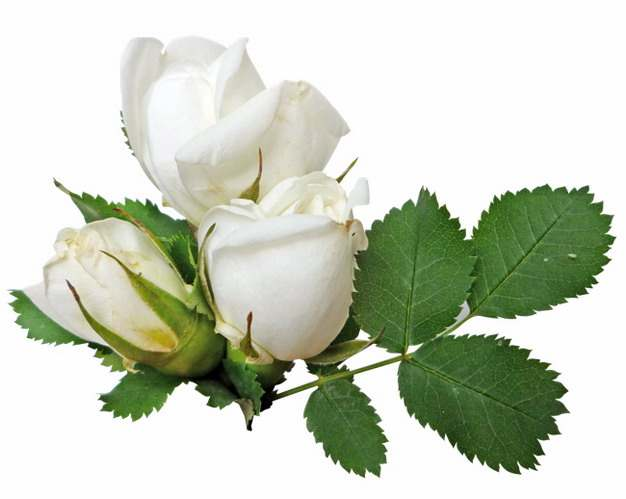 带叶子的三朵白玫瑰花鲜花7932901png图片素材