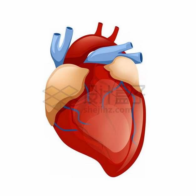 人体心脏和静脉动脉369223png免抠图片素材