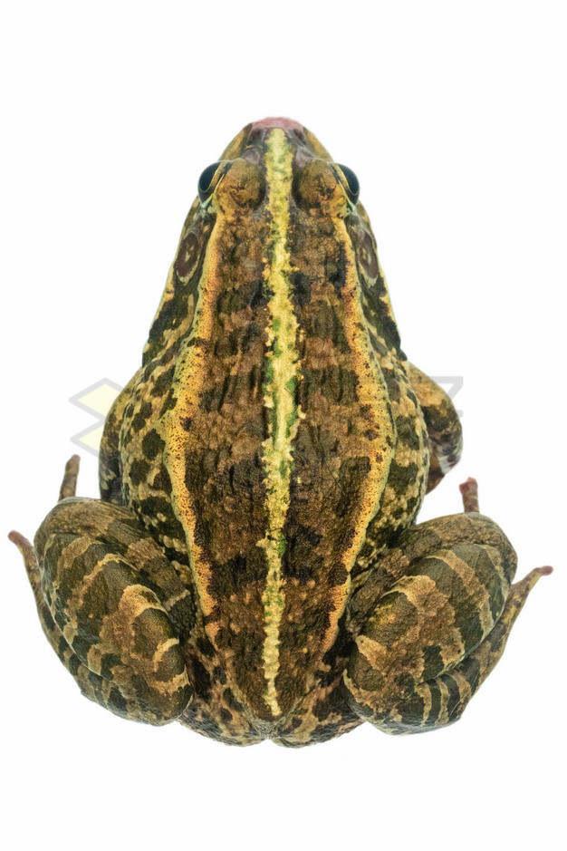 高清蟾蜍癞蛤蟆的背影png图片素材