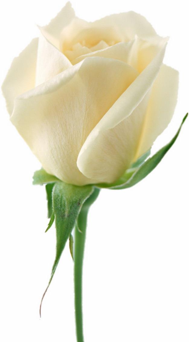 一朵白玫瑰花鲜花421257png图片素材