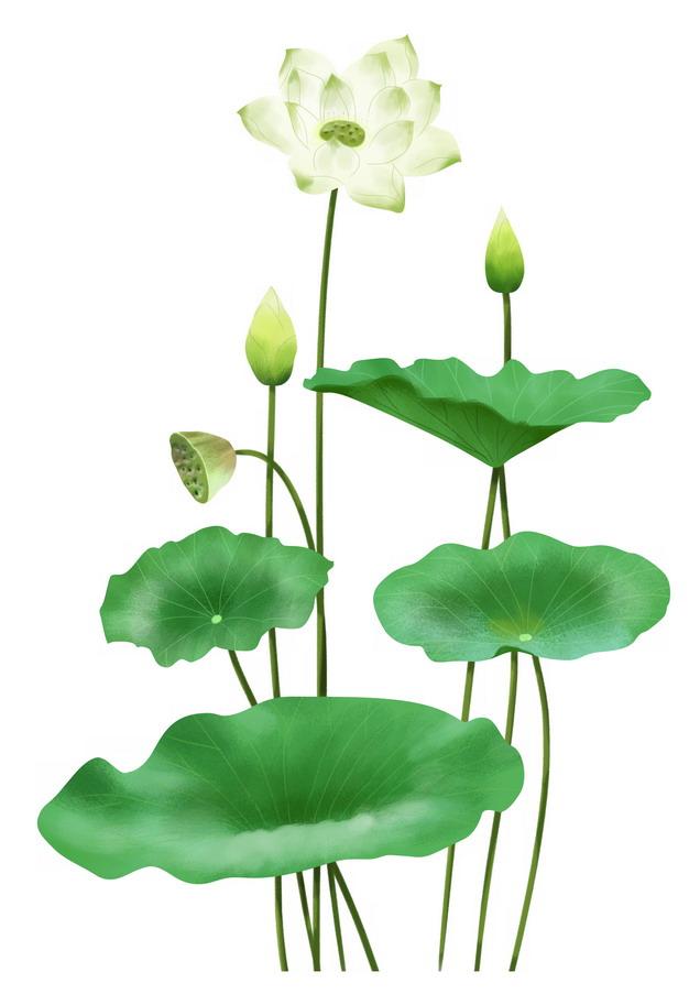 白绿色的荷花和荷叶莲蓬145843png图片素材 生物自然-第1张