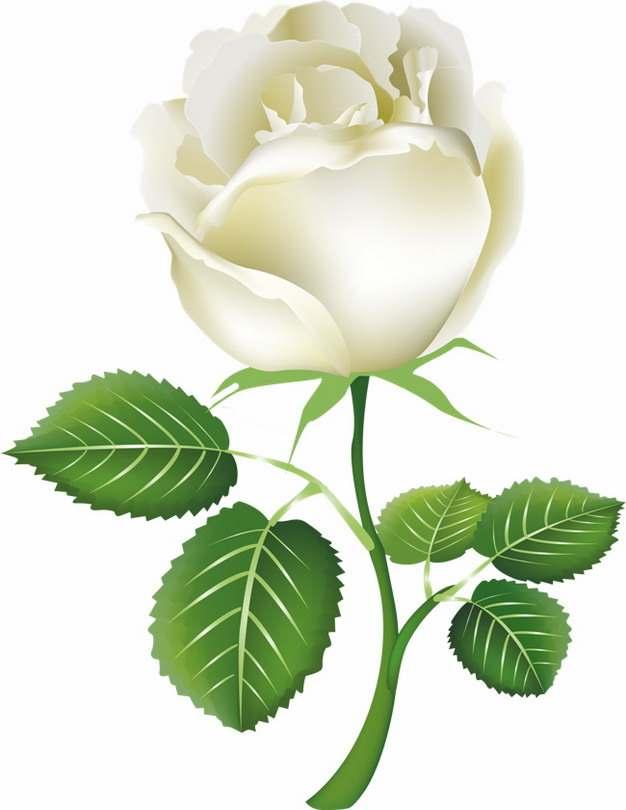 一朵盛开的白玫瑰花鲜花219880png图片素材