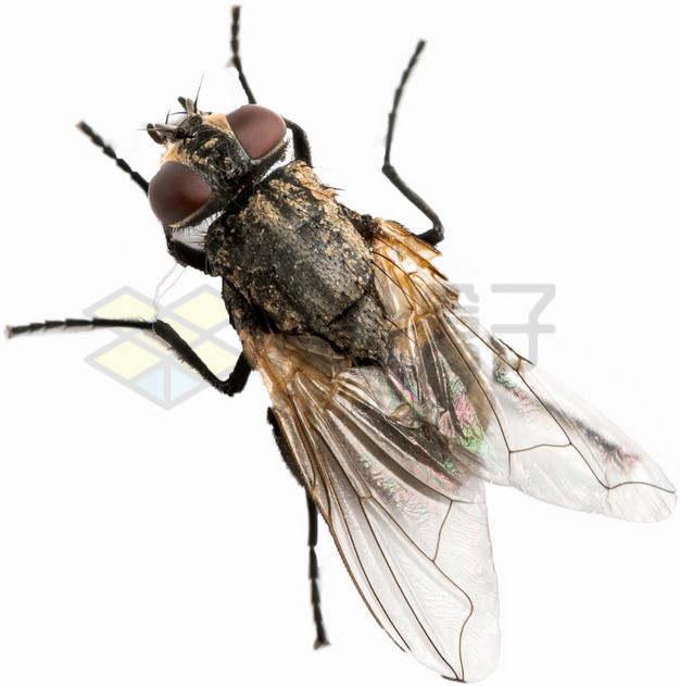 俯视视角的高清苍蝇png图片素材