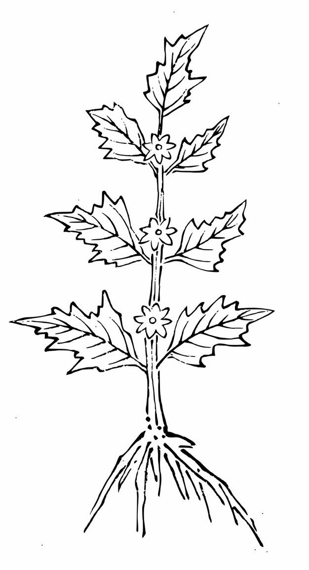 线条手绘风格益母草9556898png图片素材 生物自然-第1张
