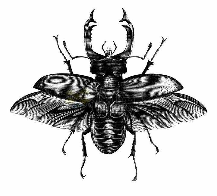锹虫甲虫昆虫手绘素描插画png图片免抠矢量素材