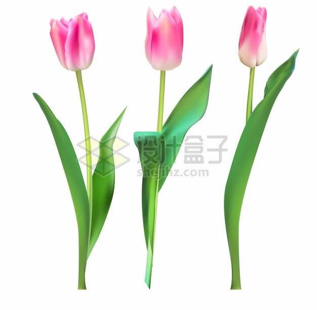 粉红色的郁金香花朵鲜花花卉899415png图片素材