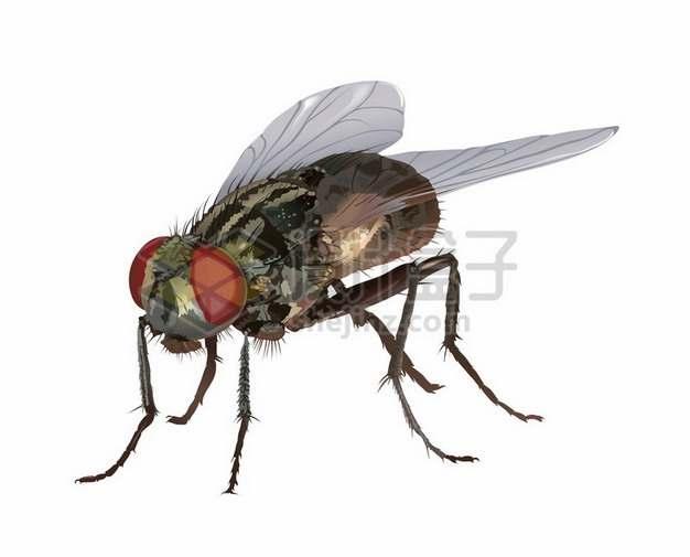 一只逼真的苍蝇365004png矢量图片素材