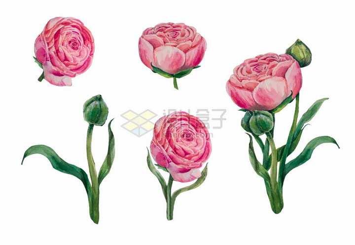 鲜艳的牡丹花水彩花卉鲜花插画png图片免抠矢量素材