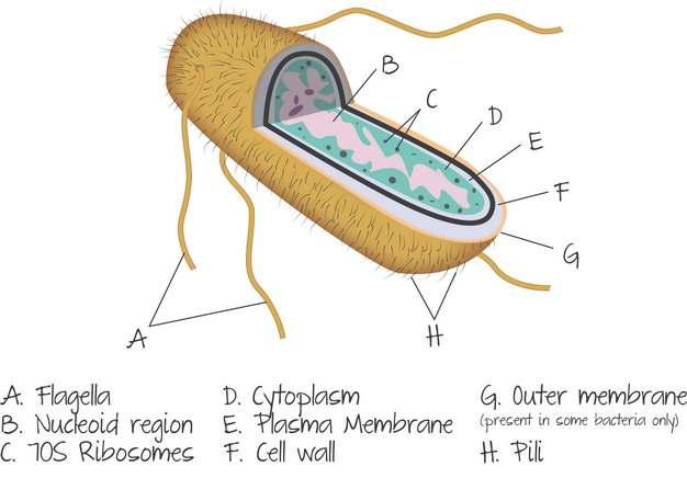 大肠杆菌解剖结构图511335png图片素材