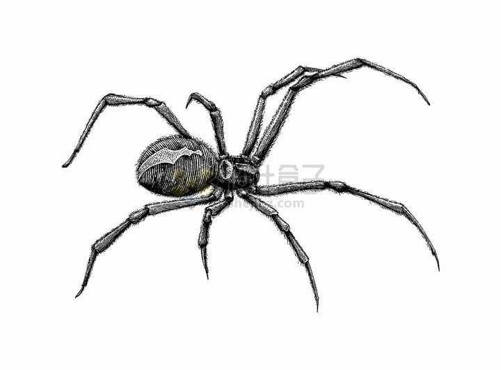 一只精细的蜘蛛手绘素描插画png图片免抠矢量素材