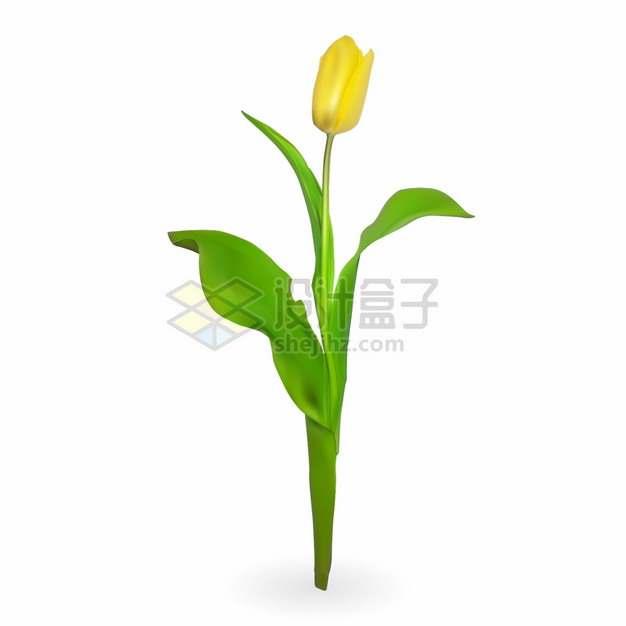 带有绿叶的黄色郁金香花朵鲜花花卉png图片素材