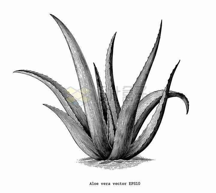芦荟植物手绘素描插画png图片免抠矢量素材