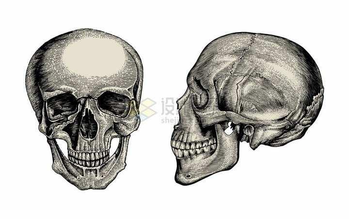 骷髅头人体头盖骨的正面和侧面手绘素描插画png图片免抠矢量素材