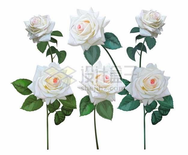 6多盛开的白色玫瑰花623127png矢量图片素材