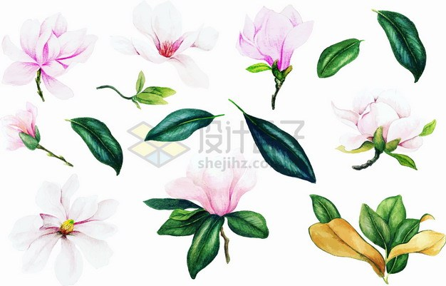 粉红色玉兰花花朵和绿色的叶子png图片素材 生物自然-第1张